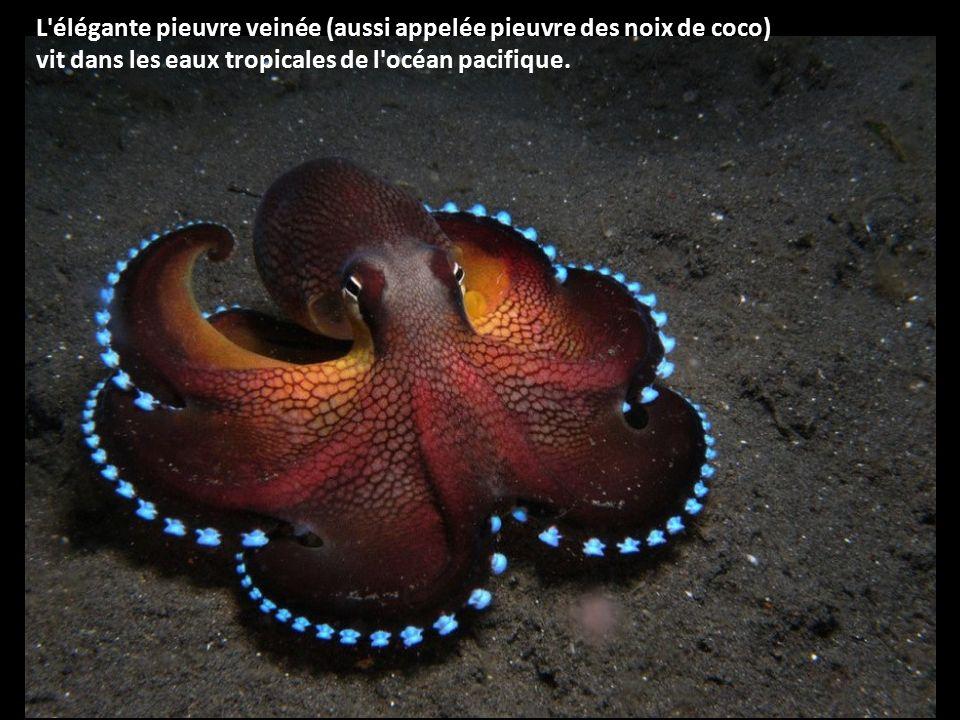 L élégante pieuvre veinée (aussi appelée pieuvre des noix de coco)
