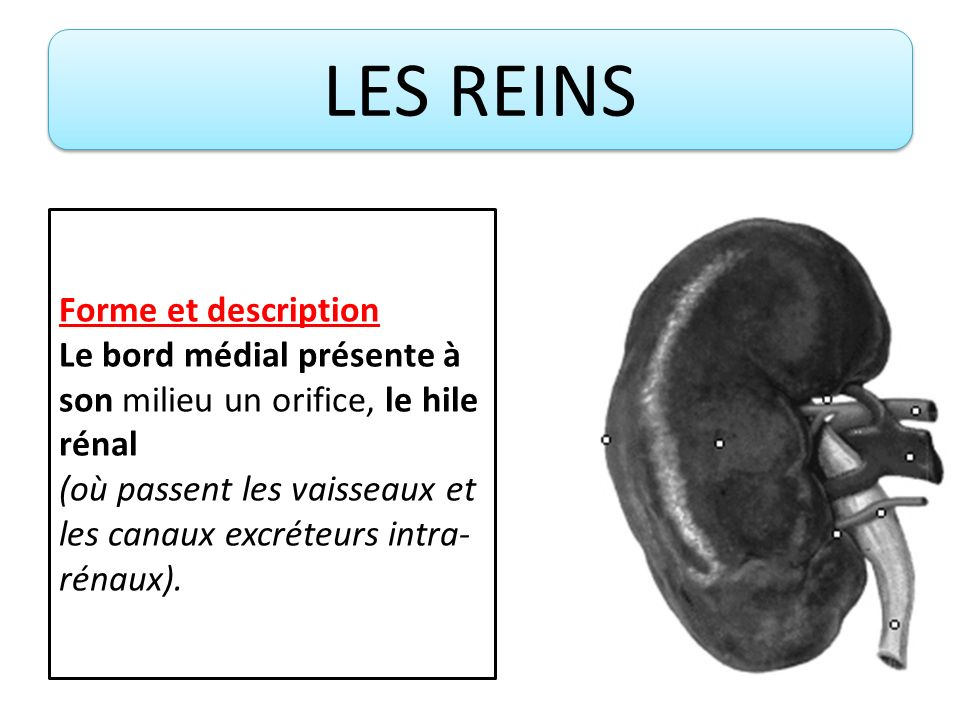 LES REINS Forme et description