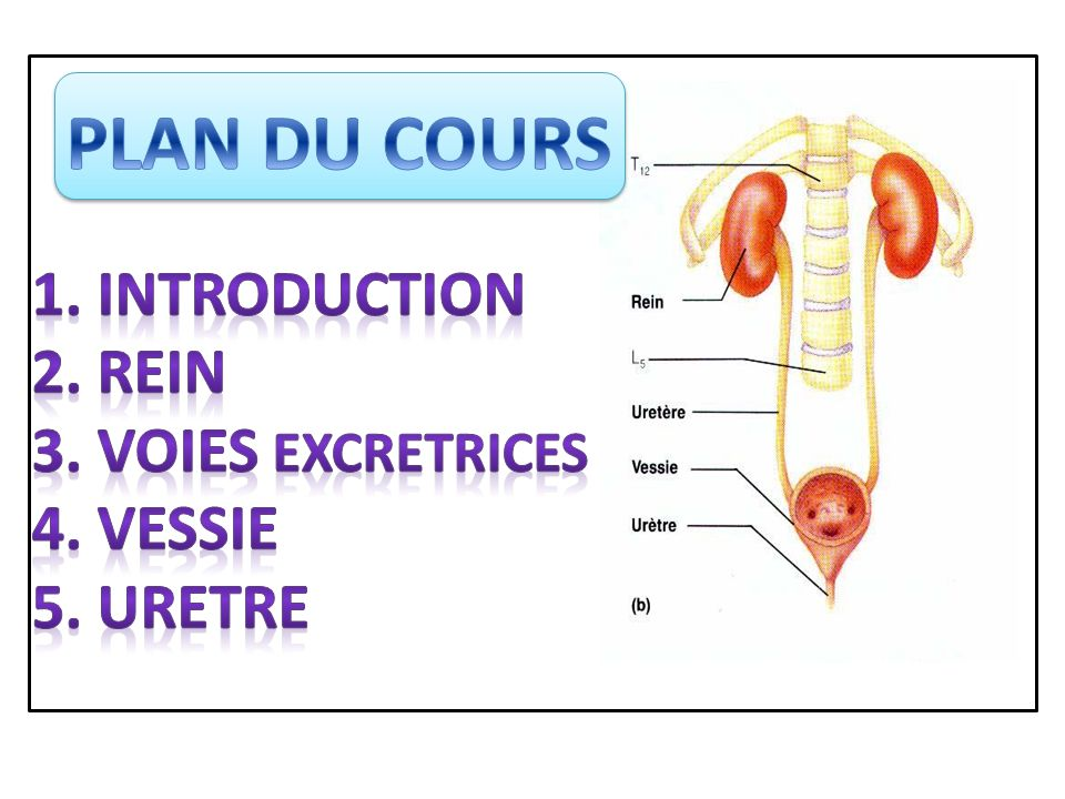 PLAN DU COURS 1. INTRODUCTION 2. REIN 3. VOIES EXCRETRICES 4. VESSIE