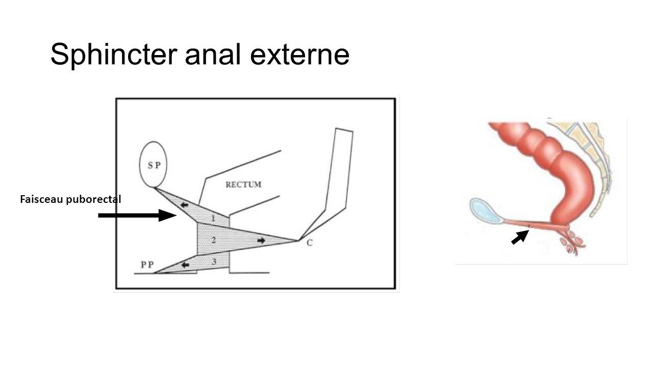 Anatomie muscle sphincter interne anal Mdecine et Sant