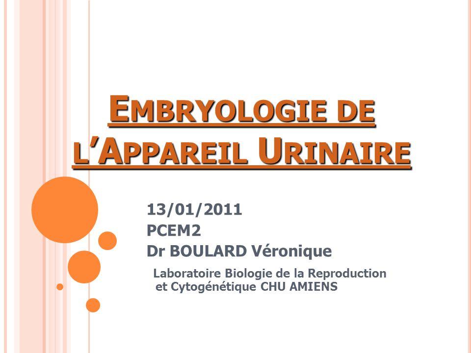 Embryologie de l'Appareil Urinaire