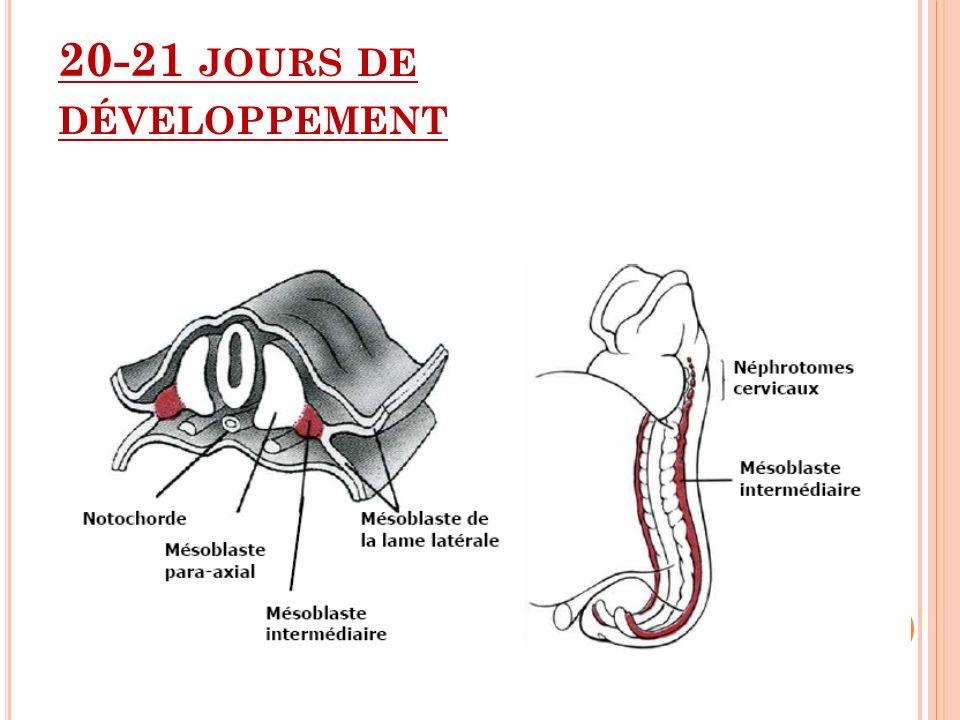 20-21 jours de développement