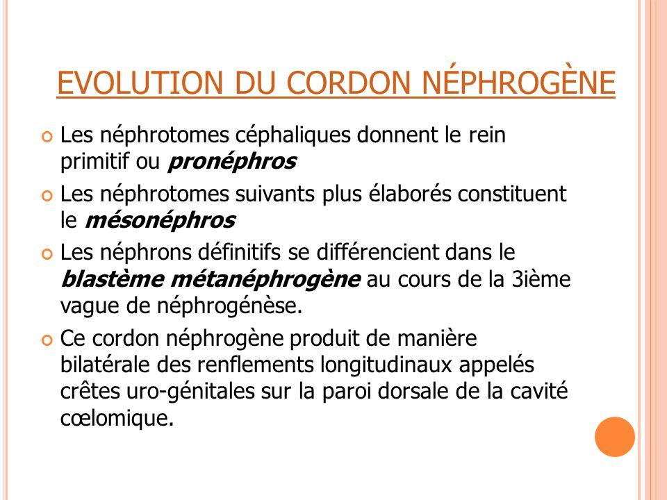 EVOLUTION DU CORDON NÉPHROGÈNE