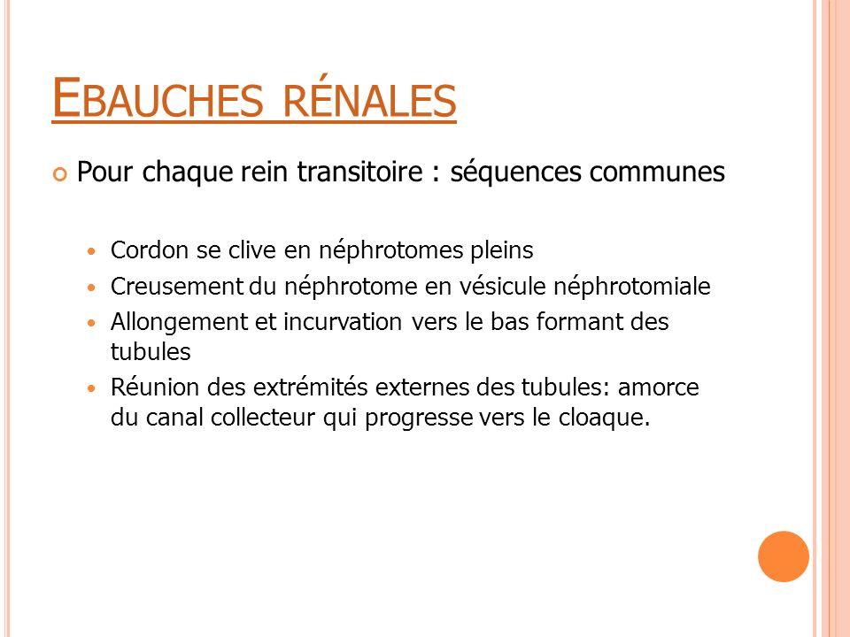Ebauches rénales Pour chaque rein transitoire : séquences communes