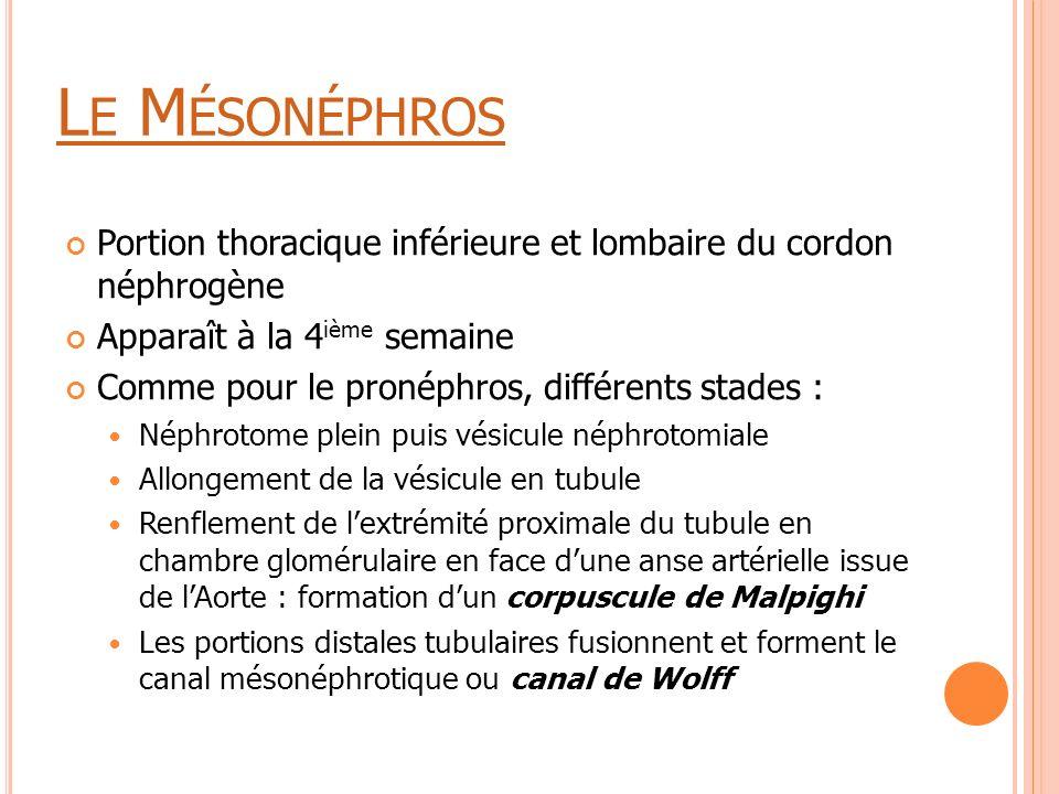 Le Mésonéphros Portion thoracique inférieure et lombaire du cordon néphrogène. Apparaît à la 4ième semaine.