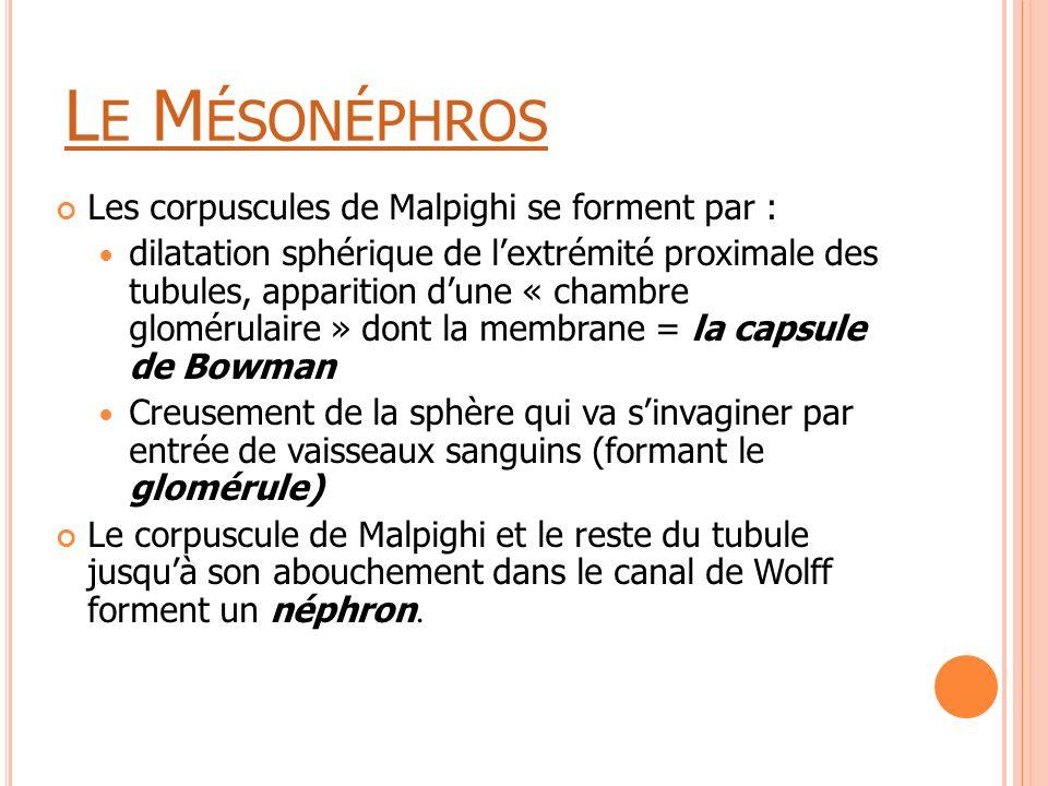 Le Mésonéphros Les corpuscules de Malpighi se forment par :