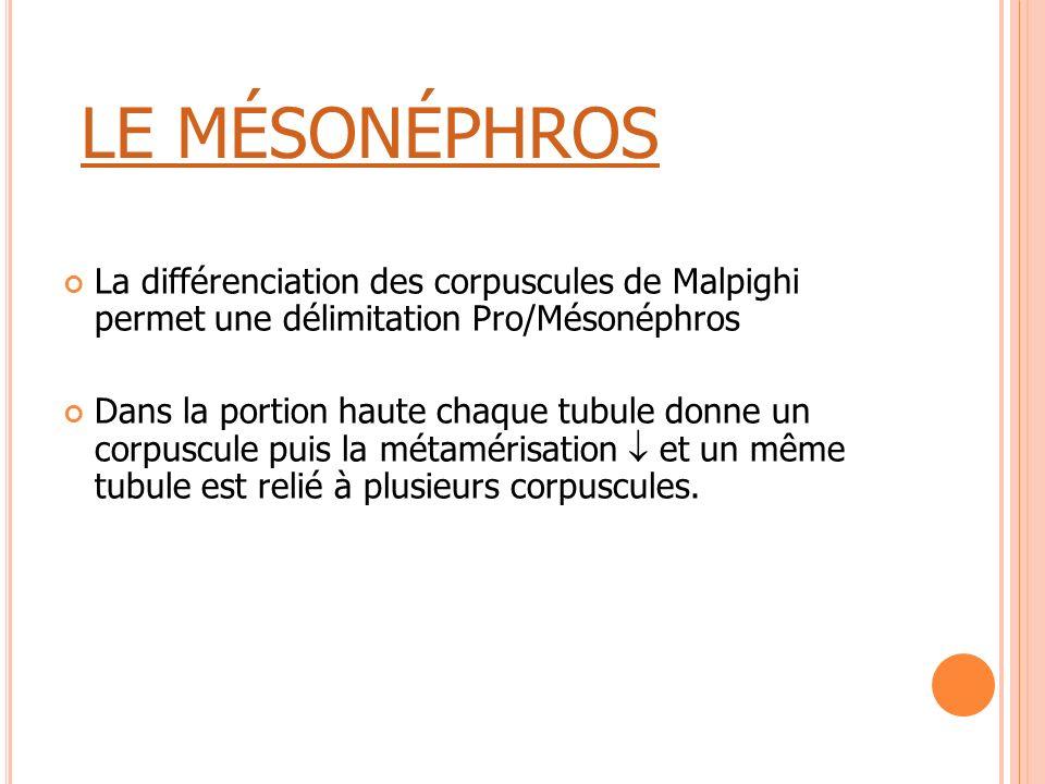 LE MÉSONÉPHROS La différenciation des corpuscules de Malpighi permet une délimitation Pro/Mésonéphros.