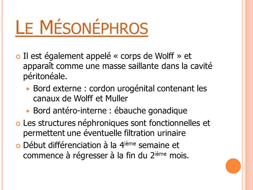 Le Mésonéphros Il est également appelé « corps de Wolff » et apparaît comme une masse saillante dans la cavité péritonéale.