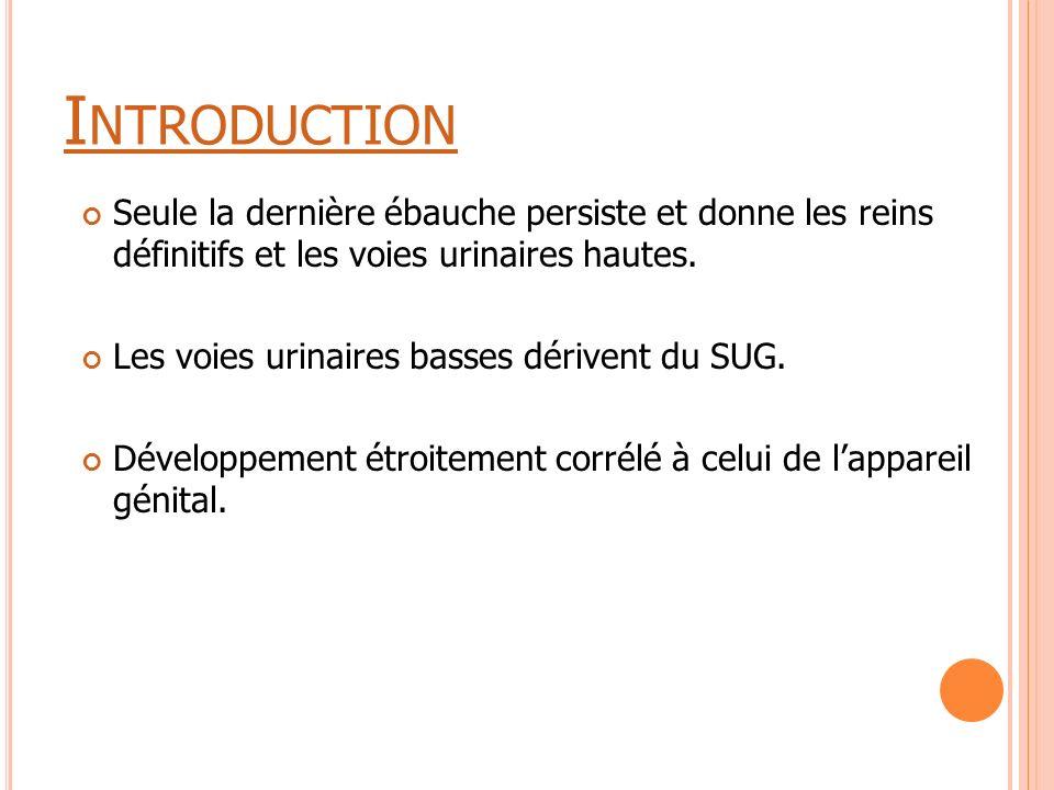 Introduction Seule la dernière ébauche persiste et donne les reins définitifs et les voies urinaires hautes.