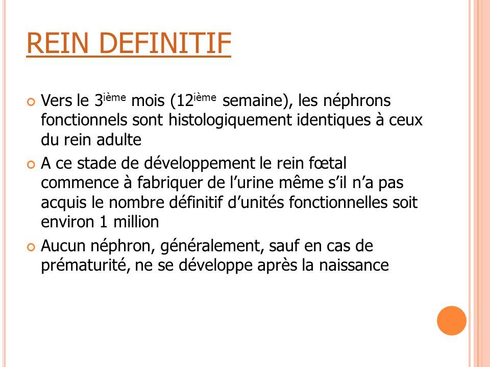 REIN DEFINITIF Vers le 3ième mois (12ième semaine), les néphrons fonctionnels sont histologiquement identiques à ceux du rein adulte.