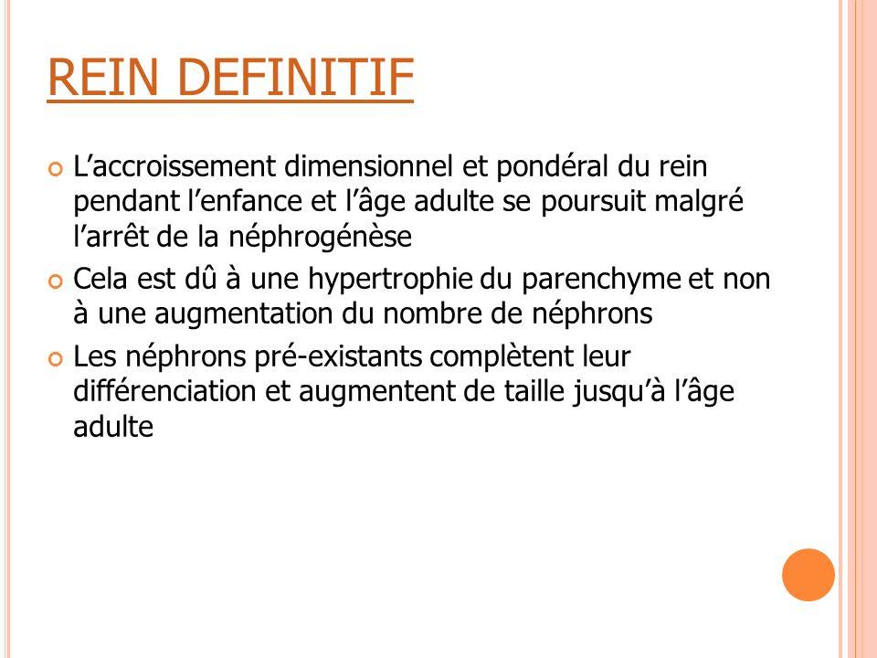 REIN DEFINITIF L'accroissement dimensionnel et pondéral du rein pendant l'enfance et l'âge adulte se poursuit malgré l'arrêt de la néphrogénèse.