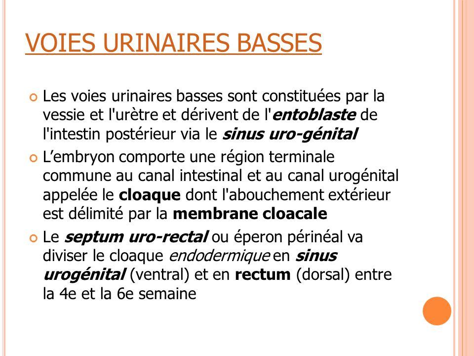 VOIES URINAIRES BASSES