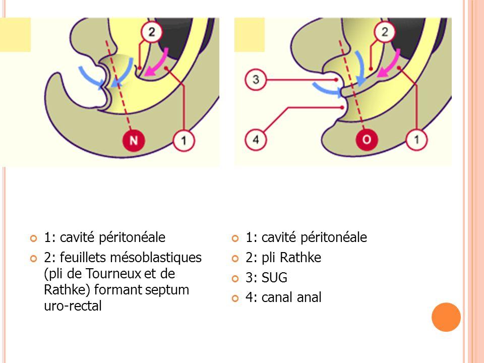 1: cavité péritonéale 2: feuillets mésoblastiques (pli de Tourneux et de Rathke) formant septum uro-rectal.