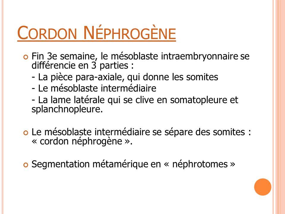 Cordon Néphrogène Fin 3e semaine, le mésoblaste intraembryonnaire se différencie en 3 parties : - La pièce para-axiale, qui donne les somites.