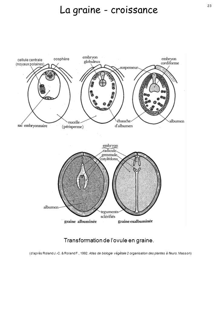 La graine - croissance Transformation de l'ovule en graine.