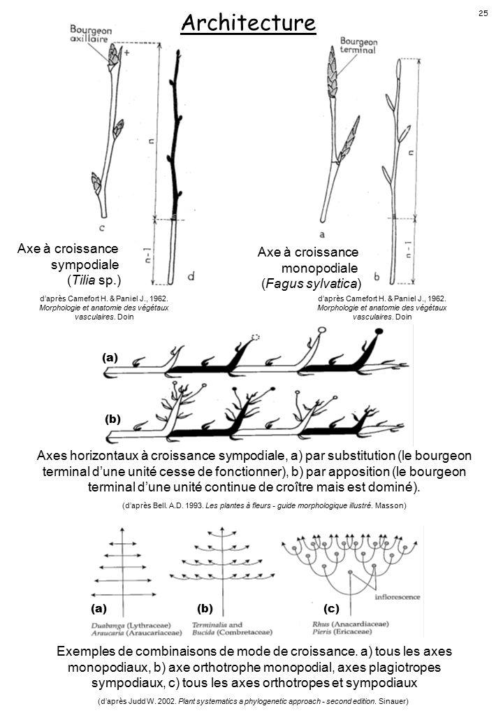 Architecture Axe à croissance sympodiale (Tilia sp.)