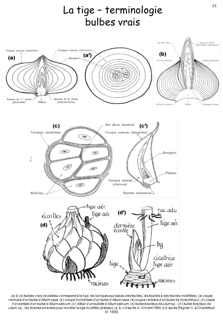 La tige – terminologie bulbes vrais (a) (a') (b) (c) (c') (d') (d) 33