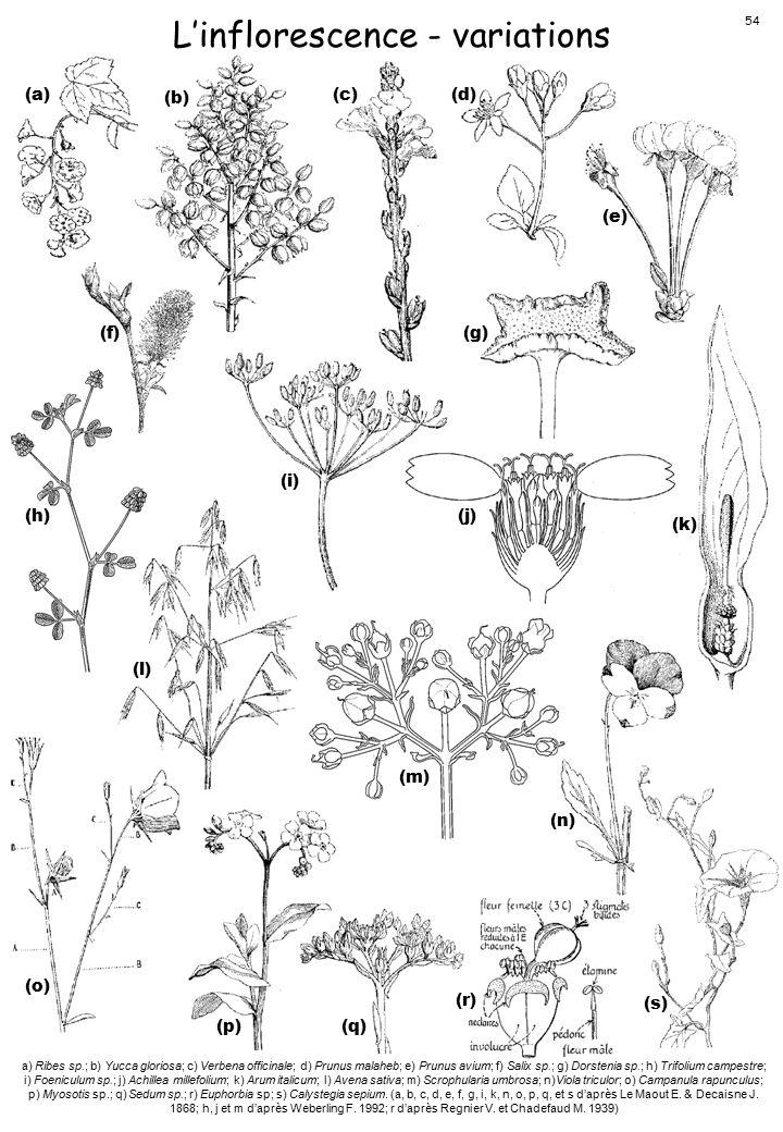 L'inflorescence - variations