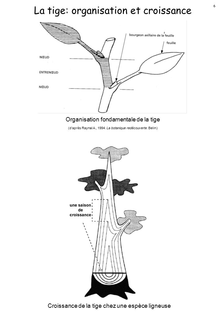 La tige: organisation et croissance