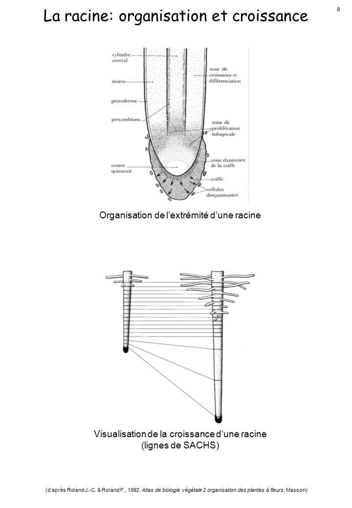 La racine: organisation et croissance