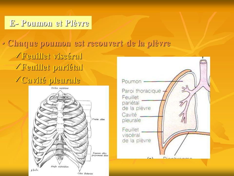 E- Poumon et Plèvre Chaque poumon est recouvert de la plèvre. Feuillet viscéral. Feuillet pariétal.