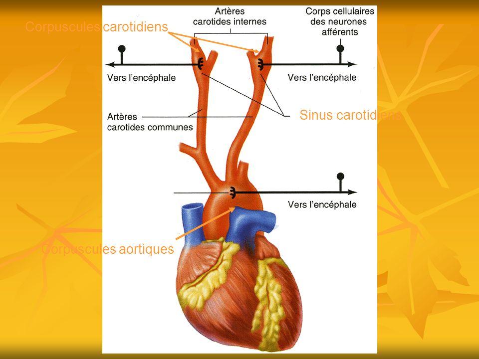 Corpuscules carotidiens