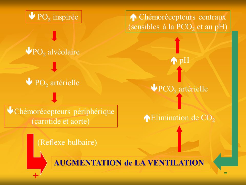 - +  PO2 inspirée  Chémorécepteurs centraux