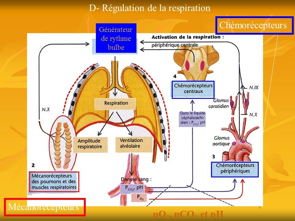 D- Régulation de la respiration