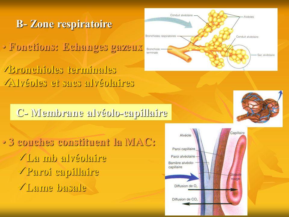 B- Zone respiratoire Fonctions: Echanges gazeux. Bronchioles terminales. Alvéoles et sacs alvéolaires.