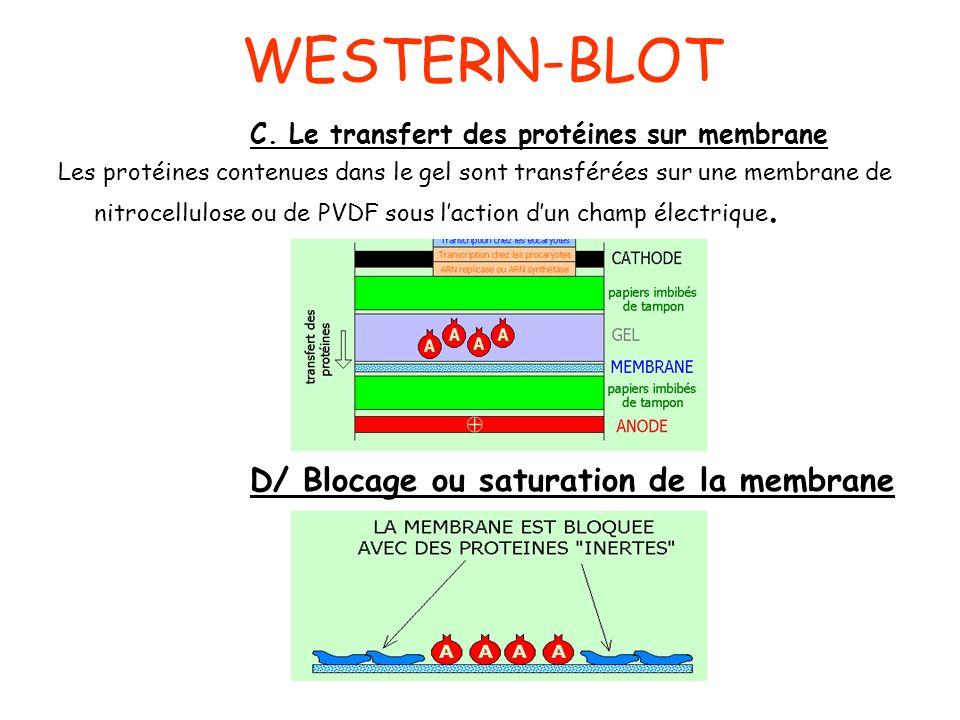 WESTERN-BLOT C. Le transfert des protéines sur membrane