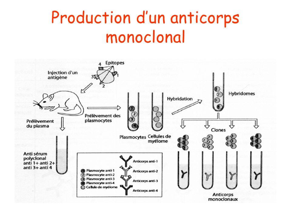 Production d'un anticorps monoclonal