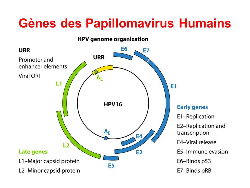 cycle viral du papillomavirus pdf
