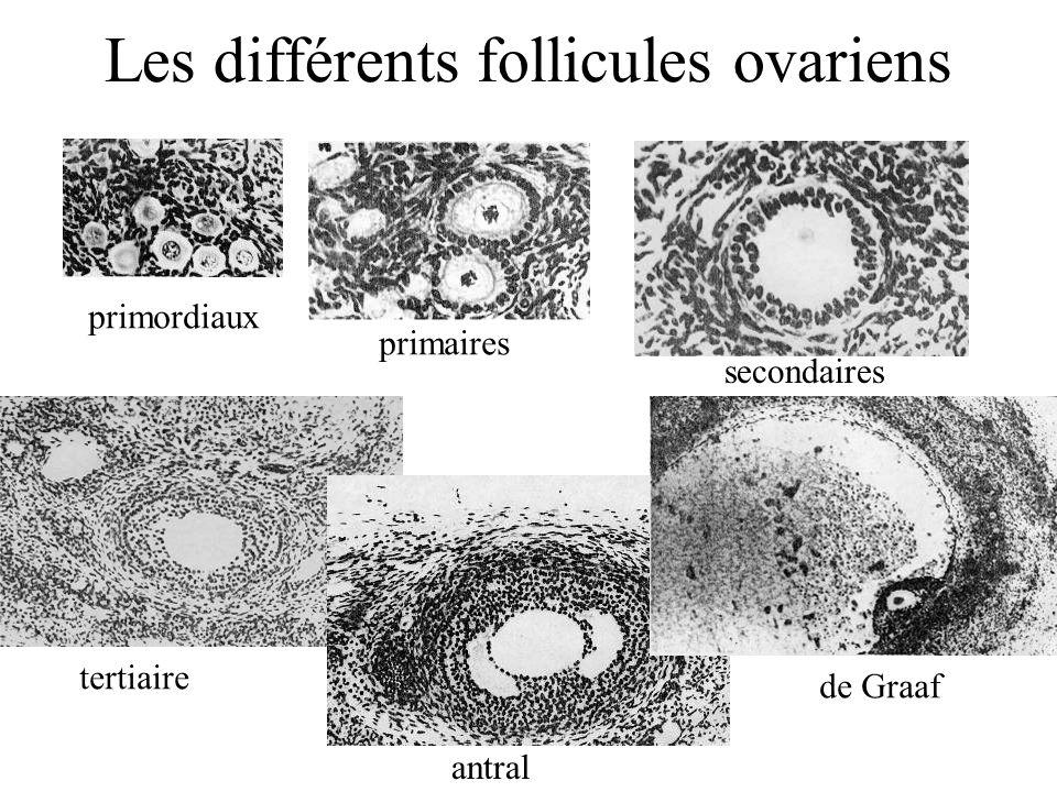 Les différents follicules ovariens
