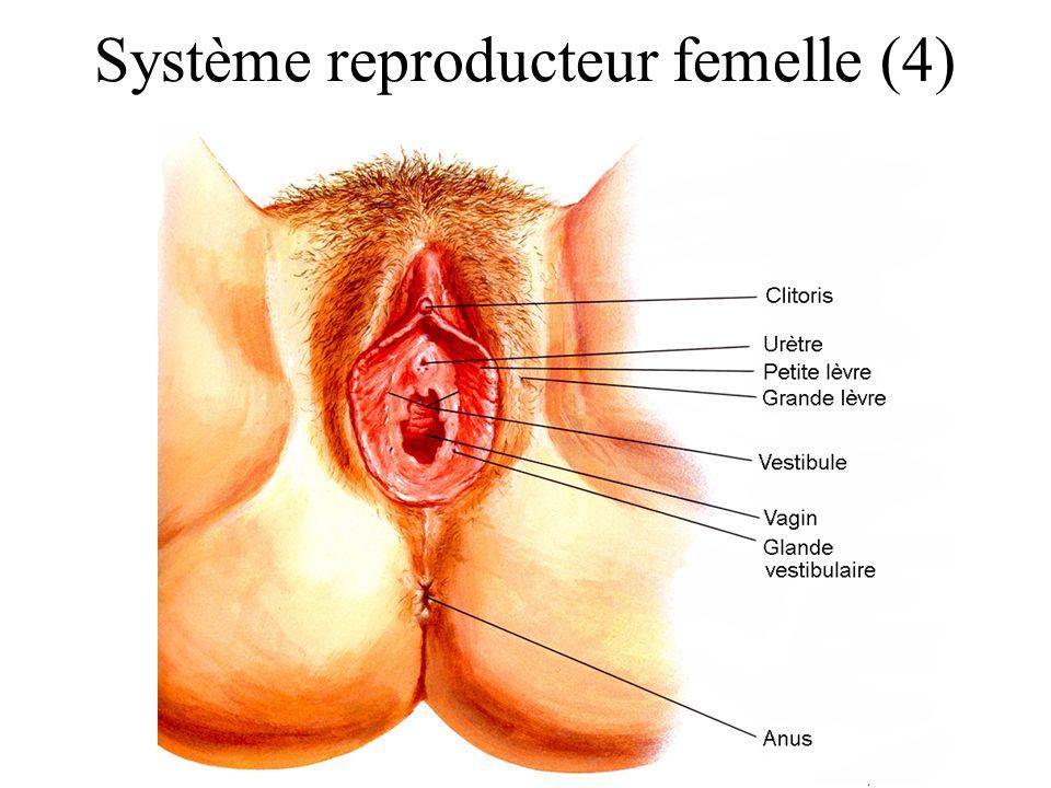 Système reproducteur femelle (4)