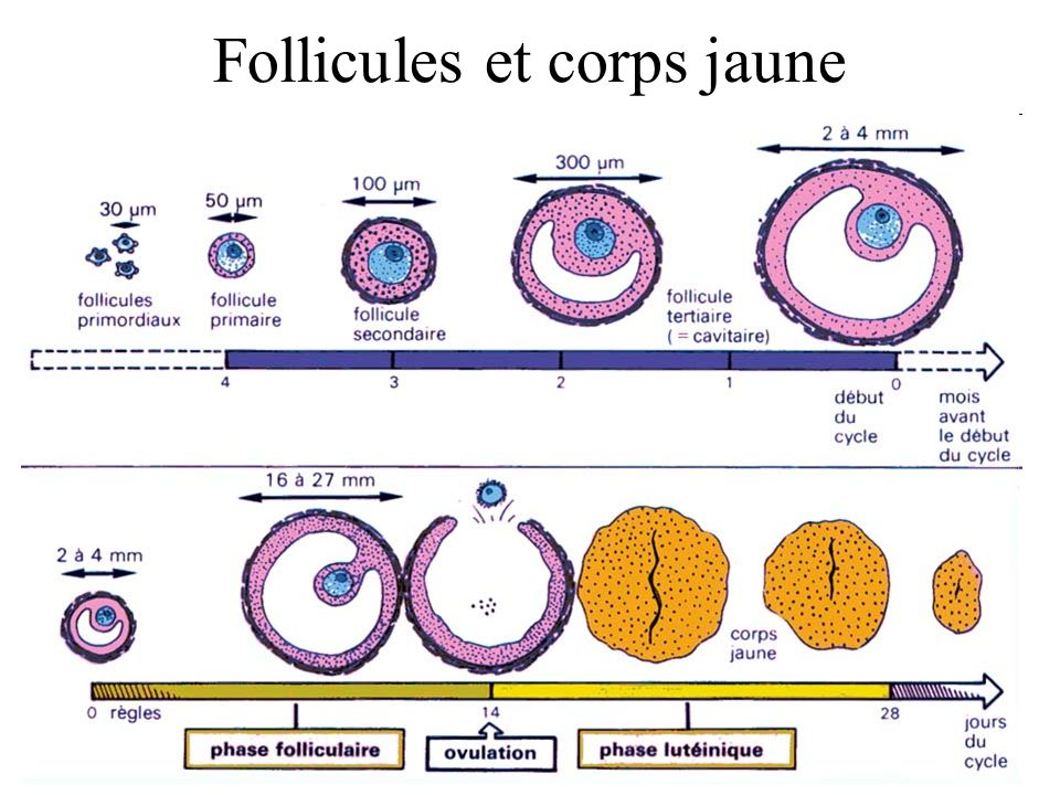 Follicules et corps jaune