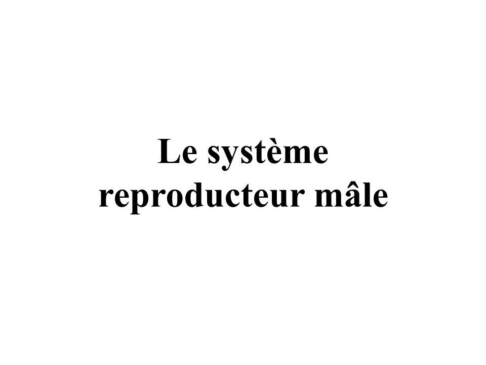 Le système reproducteur mâle