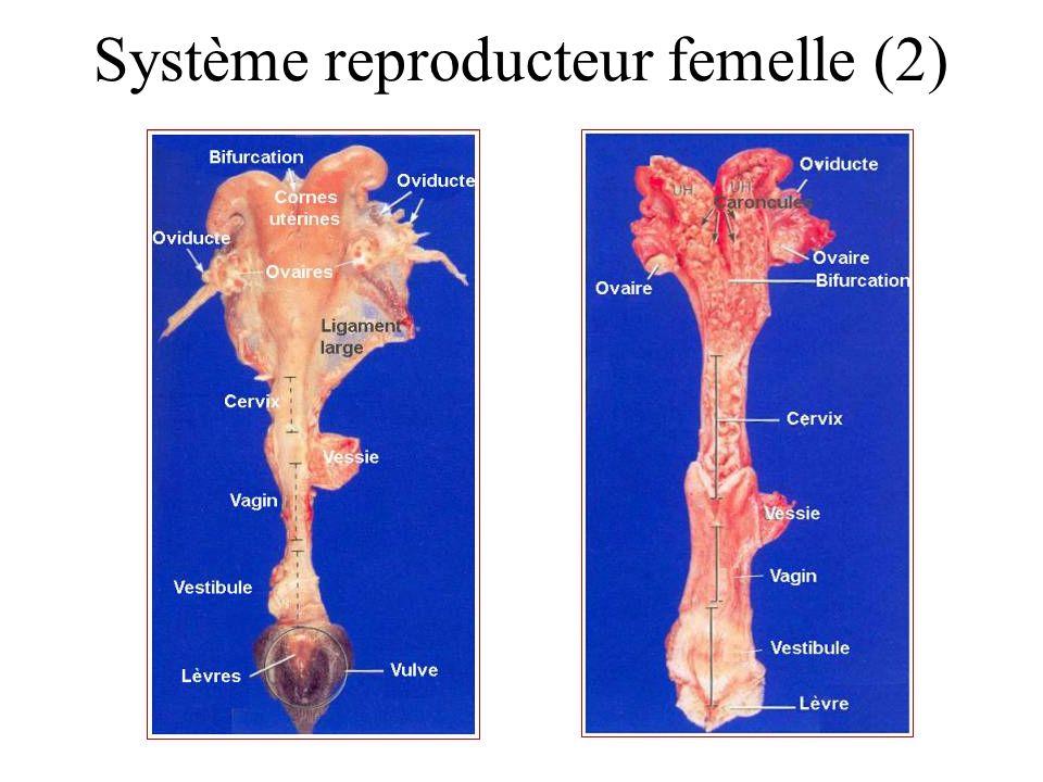 Système reproducteur femelle (2)