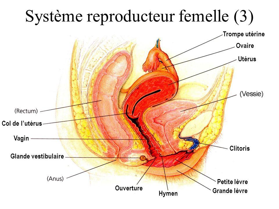 Système reproducteur femelle (3)