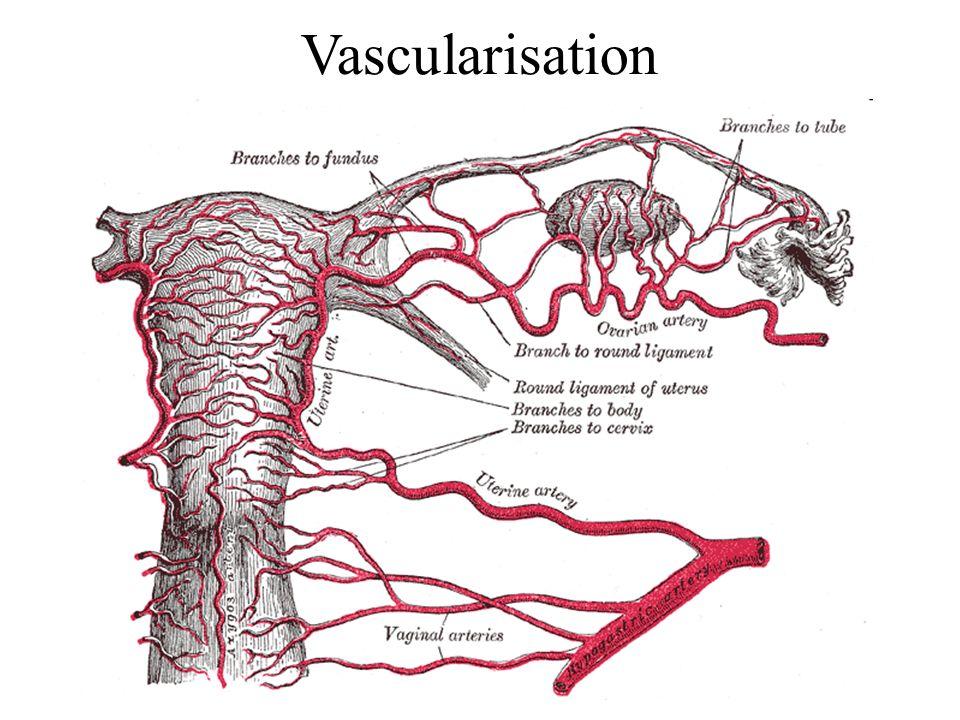 Vascularisation