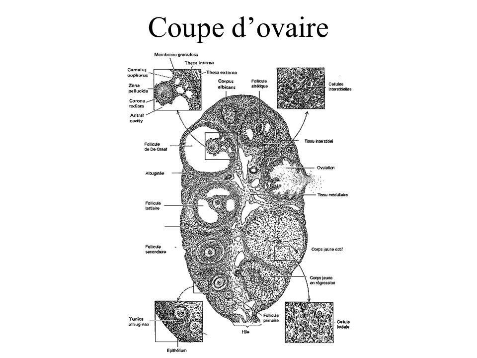 Coupe d'ovaire