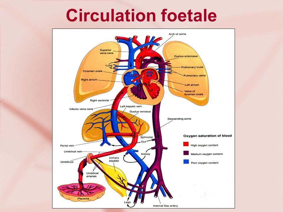 Circulation foetale