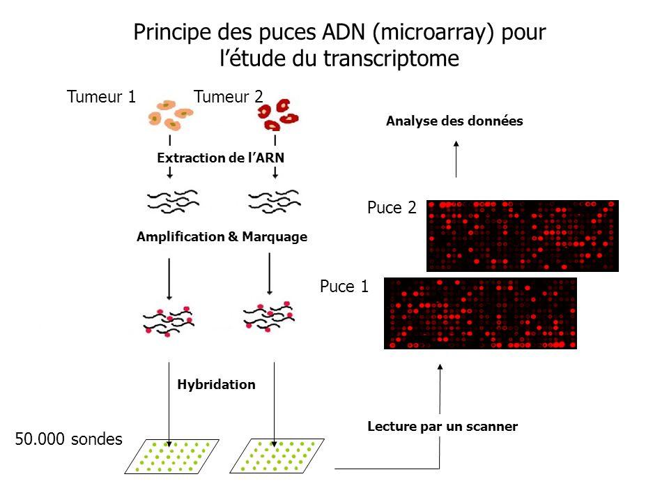 Principe des puces ADN (microarray) pour l'étude du transcriptome