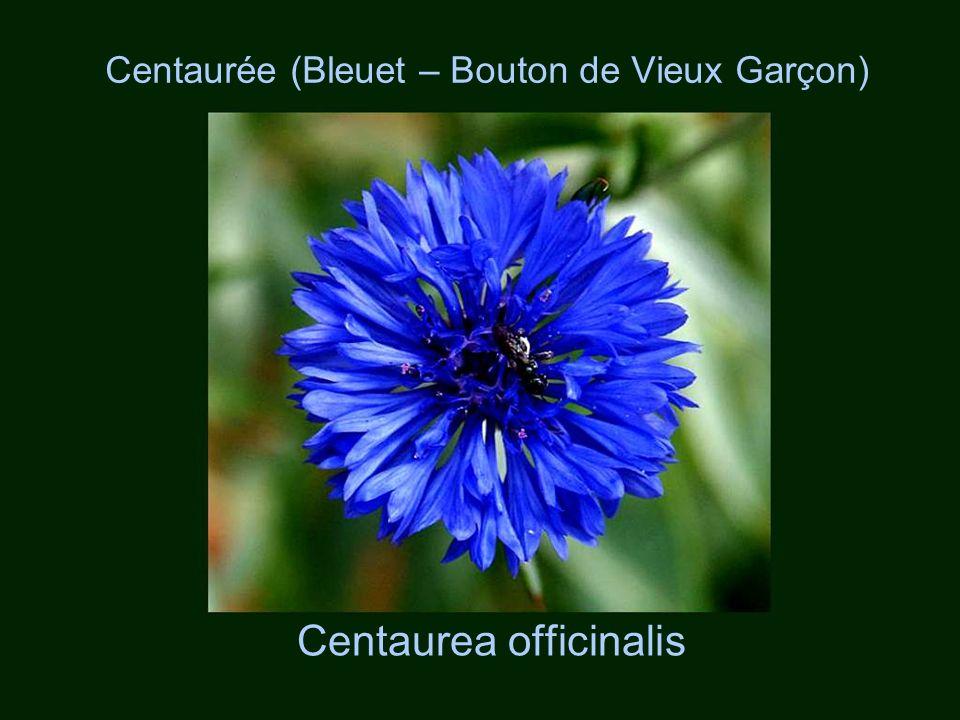 Centaurée (Bleuet – Bouton de Vieux Garçon)