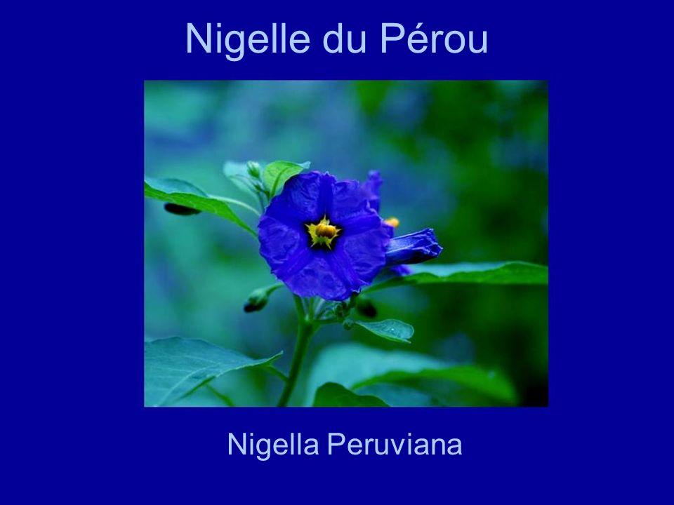 Nigelle du Pérou Nigella Peruviana