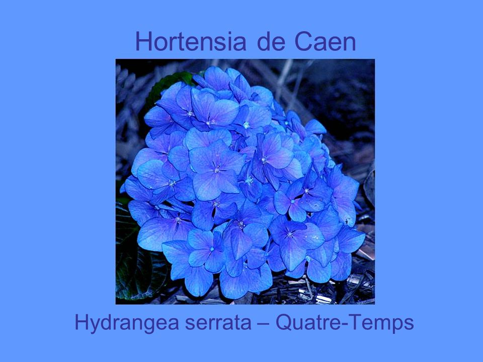 Hydrangea serrata – Quatre-Temps