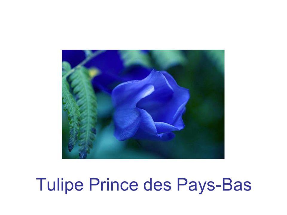 Tulipe Prince des Pays-Bas