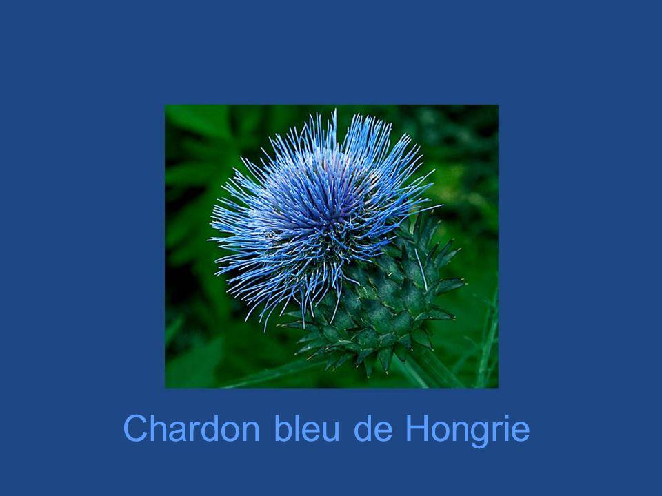 Chardon bleu de Hongrie