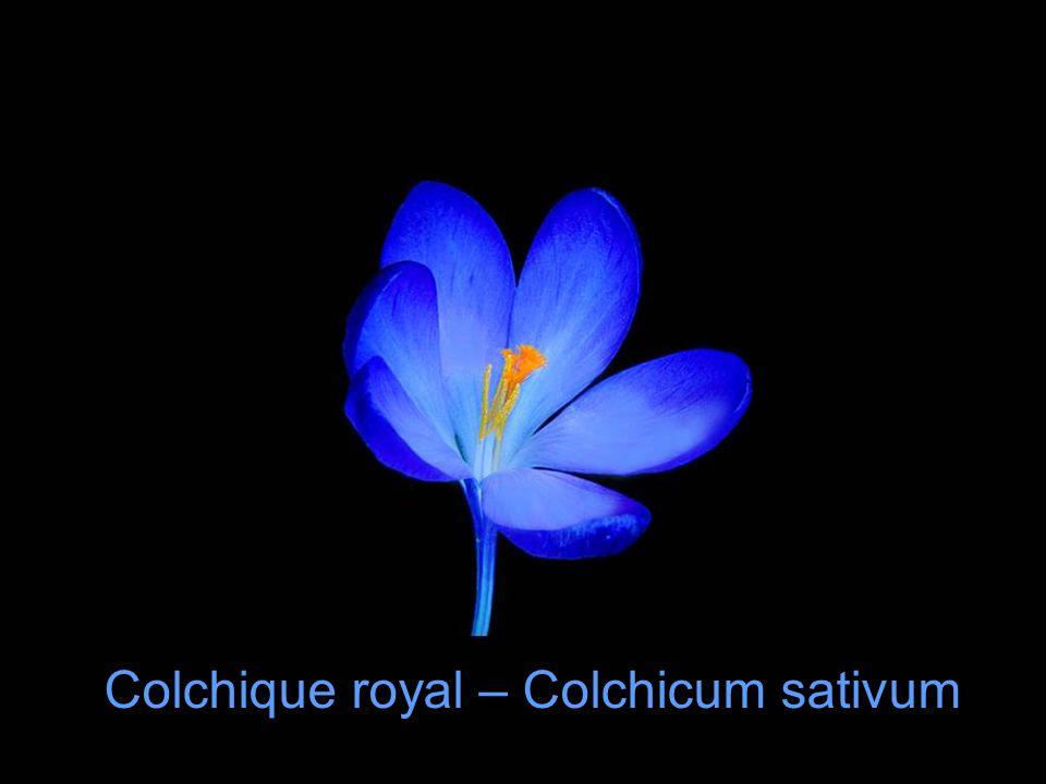Colchique royal – Colchicum sativum