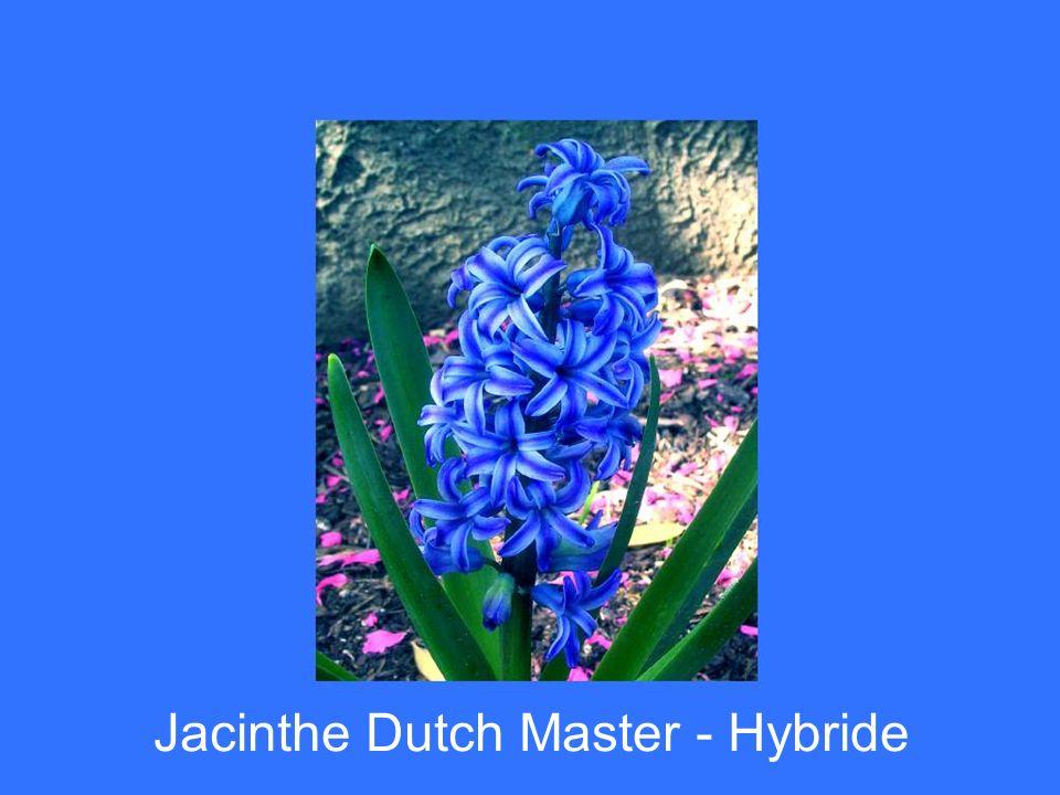 Jacinthe Dutch Master - Hybride