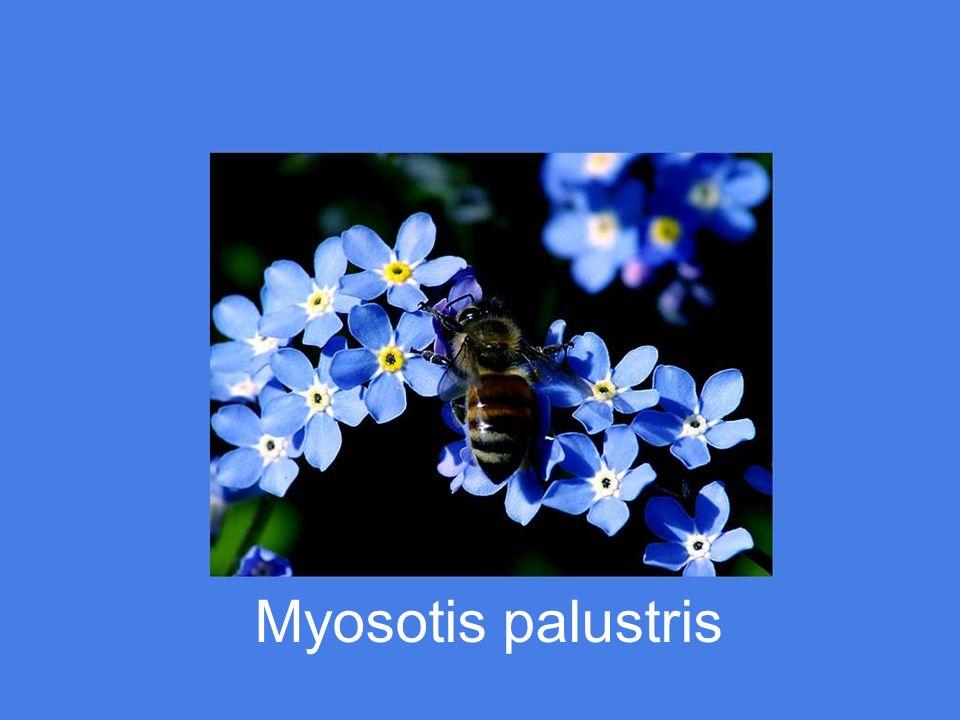 Myosotis palustris